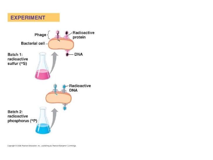 Purines                        PyrimidinesAdenine             Guanine       Cytosine       Thymine      1                 ...