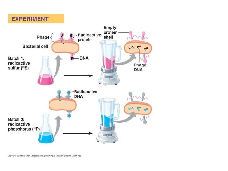 DNA Structure• Chargaff's Rule :   – Amount of adenine = amount of thymine, amount of     guanine = amount of cytosine   –...