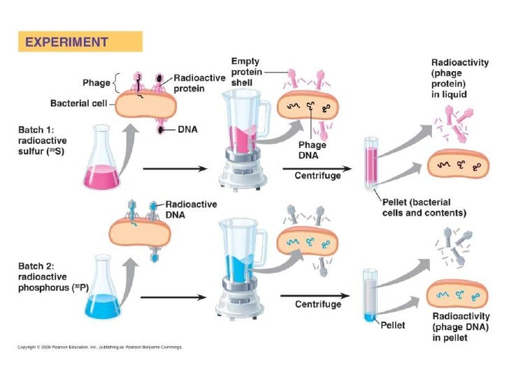 DNA Structure• Rosalind Franklin   – Used x-ray diffraction to     examine DNA fibers   – Concluded that DNA was     helix...