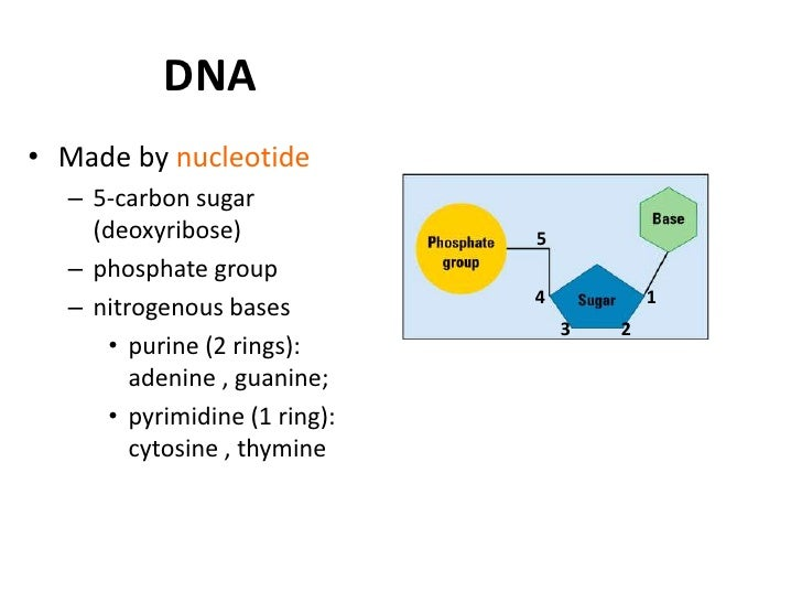 DNA Structure• Watson and Crick's model  – DNA have two strands run in    opposite directions  – Strands are held together...