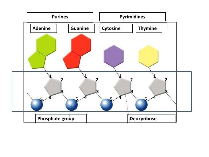 Nucleotide                                     Hydrogen bondsSugar-phosphate       backbone                               ...