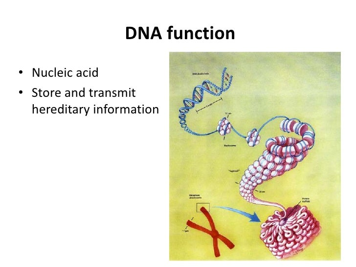 DNA function• Nucleic acid• Store and transmit  hereditary information