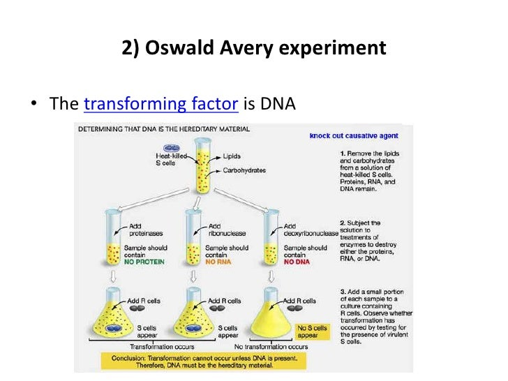 2) Oswald Avery experiment• The transforming factor is DNA