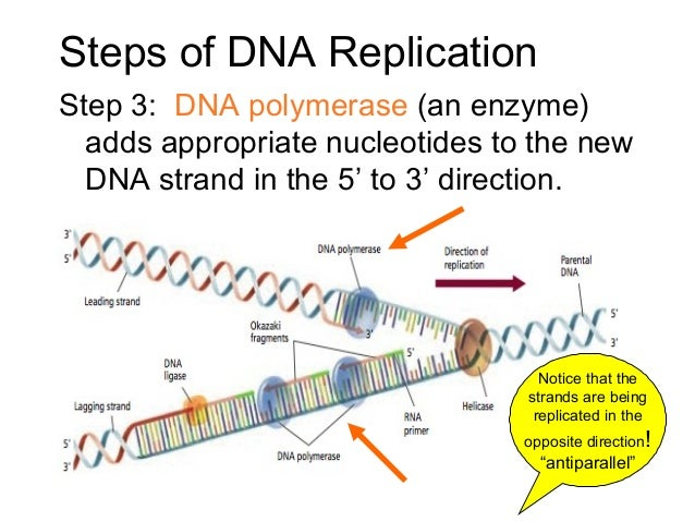 how to draw dna strand