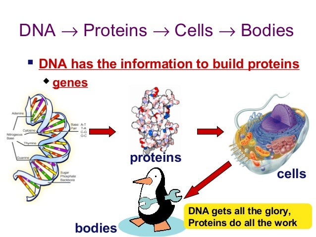 how to translate dna to mrna to protein