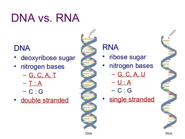 dna and rna worksheet answers