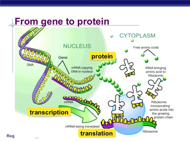 DNA, RNA, and Proteins