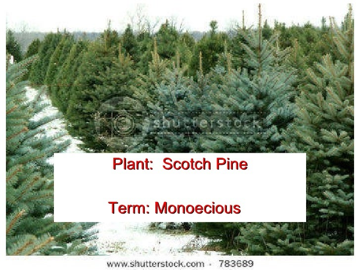 Introduction to Horticulture Plant:  Scotch Pine Term: Monoecious