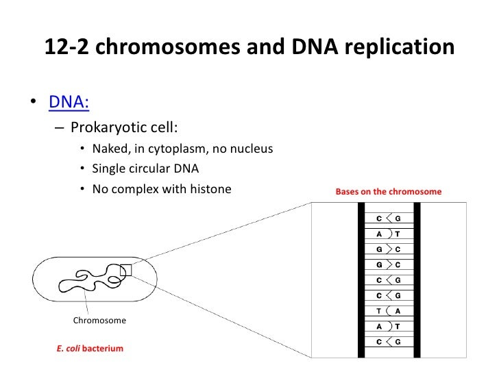 12-2 chromosomes and DNA replication• DNA:  – Prokaryotic cell:       • Naked, in cytoplasm, no nucleus       • Single cir...