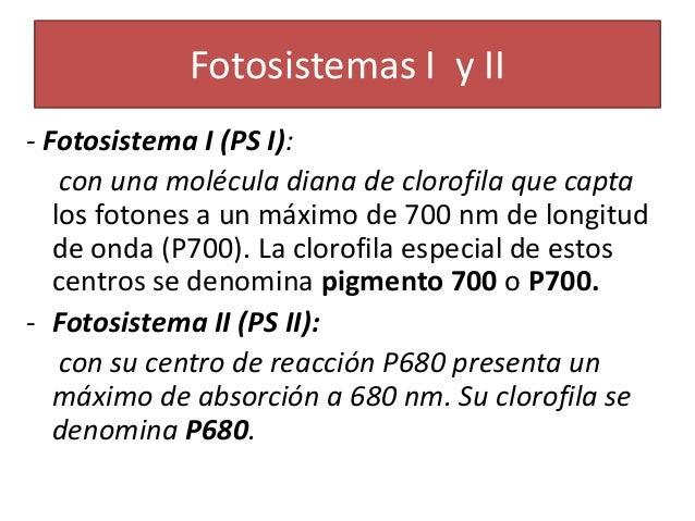 Fotosistema 1 y 2 diferencias 31