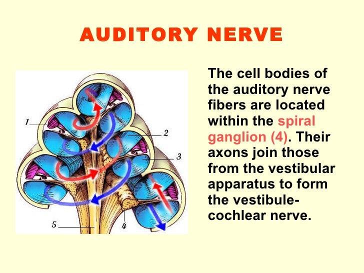 Fibers Of Cochlear Nerve