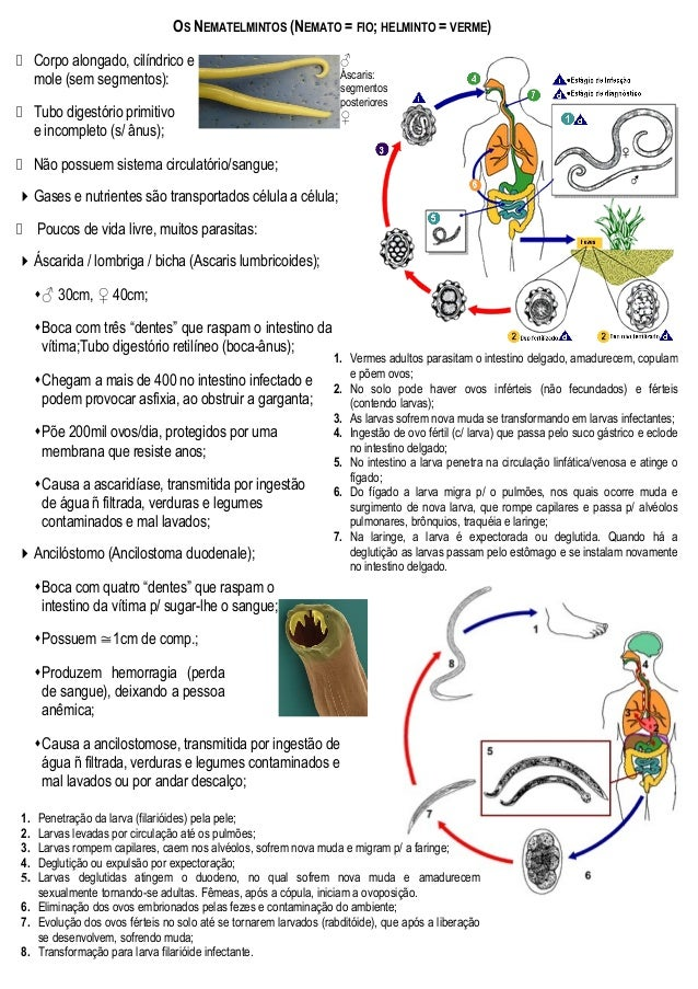 ♂ Áscaris: segmentos posteriores ♀ OS NEMATELMINTOS (NEMATO = FIO; HELMINTO = VERME)  Corpo alongado, cilíndrico e mole (...