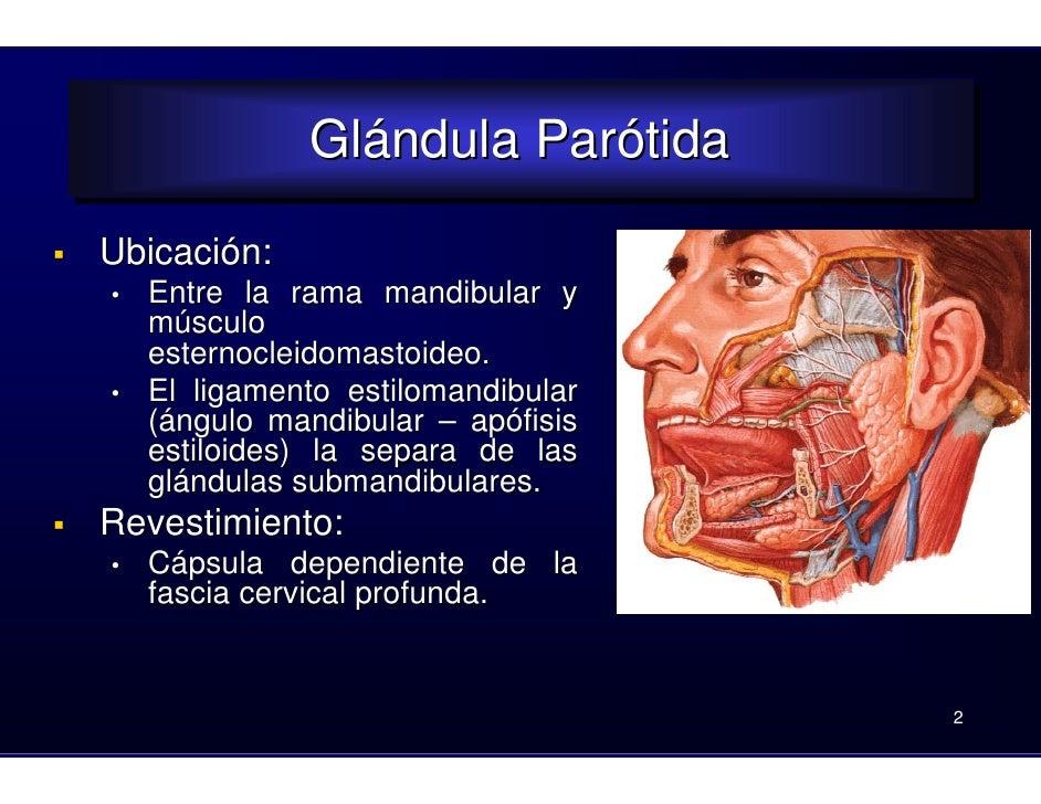 12. parotida-carótida-venas del cuello