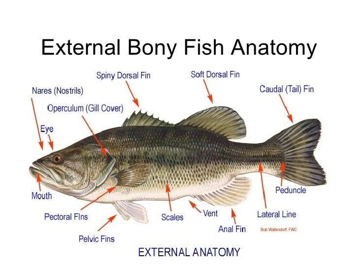 Magnificent Bony Fish Anatomy Ideas - Anatomy And Physiology Biology ...