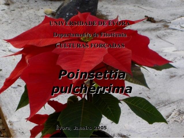 PoinsettiaPoinsettia pulchérrimapulchérrima UNIVERSIDADE DE ÉVORAUNIVERSIDADE DE ÉVORA Departamento de FitotécniaDepartame...