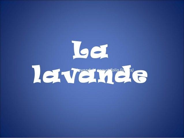 LalavandeLavandula angustifolia (labiés)