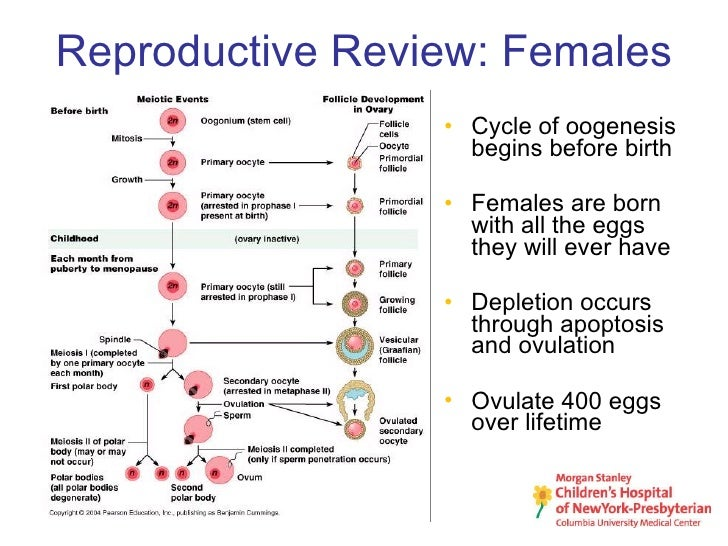 oogenesis and ovarian cycle During oogenesis in mammals, the germ line interacts with ovarian somatic cells as follicles assemble, grow, ovulate, and die as a result, these interactions with granulosa cells determine germ cell fate as the oocyte undergoes hypertrophy, the final stages of meiosis, and preparations required for successful fertilization.