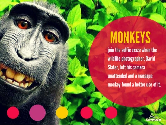 Monkeys became part of selfie craze when wildlife photographer, David Slater, left his camera unattended for a Macaque Mon...
