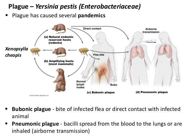 Xenopsylla Cheopis Life Cycle 12 bio265 disea...
