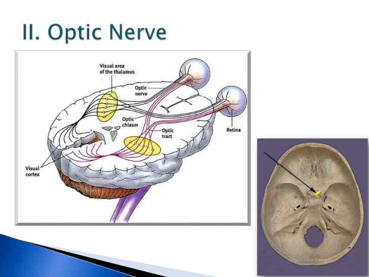 Cranial Nerves Anatomy Ppt Choice Image - human body anatomy