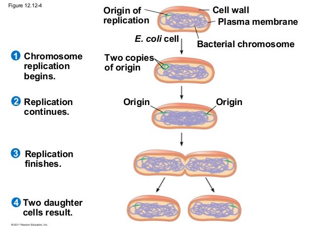life cycle of e coli pdf