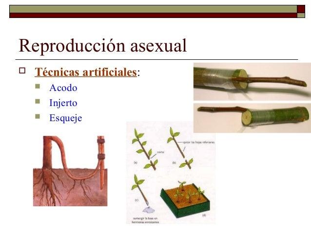 Los musgos reproduccion asexual artificial