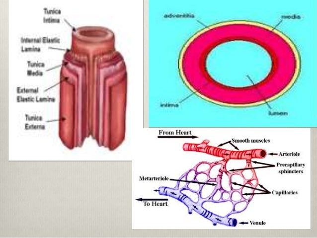 13.arteries and arterioles