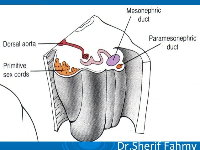 Development of Genital System (Special Embryology)