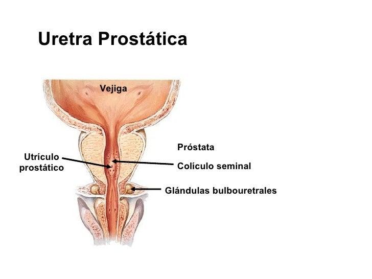 Dorable Glándula Próstata Femenina Anatomía Imagen - Anatomía de Las ...