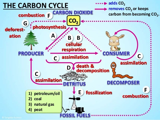 Photosynthesis respiration decomposition diagram diy wiring diagrams the carbon cycle by tangstar science rh slideshare net photosynthesis cell respiration diagram basic diagram of ccuart Images
