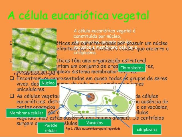 A célula eucariótica vegetal As células eucarióticas são caracterizadas por possuir um núcleoindividualizado, delimitado ...