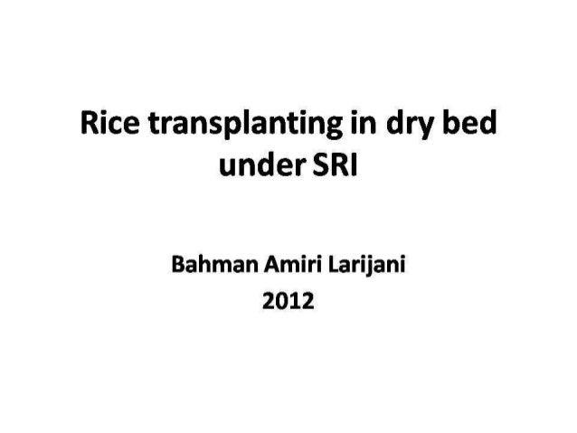 1302 Rice Transplanting in Dry Bed under SRI