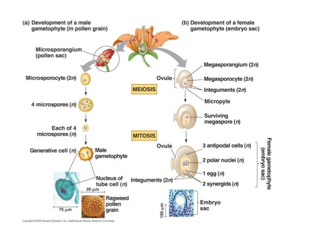 Microsporogenesis- formation of spores called microspores Microgametogenesis- development of microspore into the microgame...