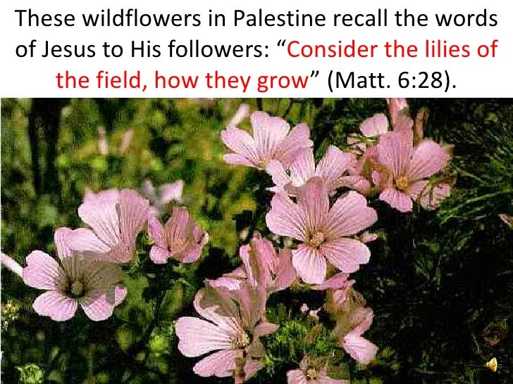 "These wildflowers in Palestine recall the words of Jesus to His followers: ""Consider the lilies of     the field, how they..."