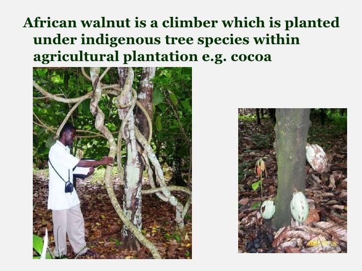 Cultivation Of African Walnut Tetracarpidium Conophorum