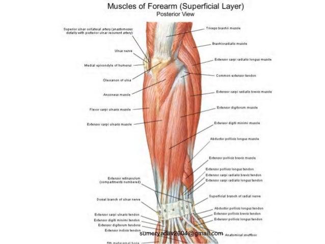 extensor tendons injury and deformity Slide 3