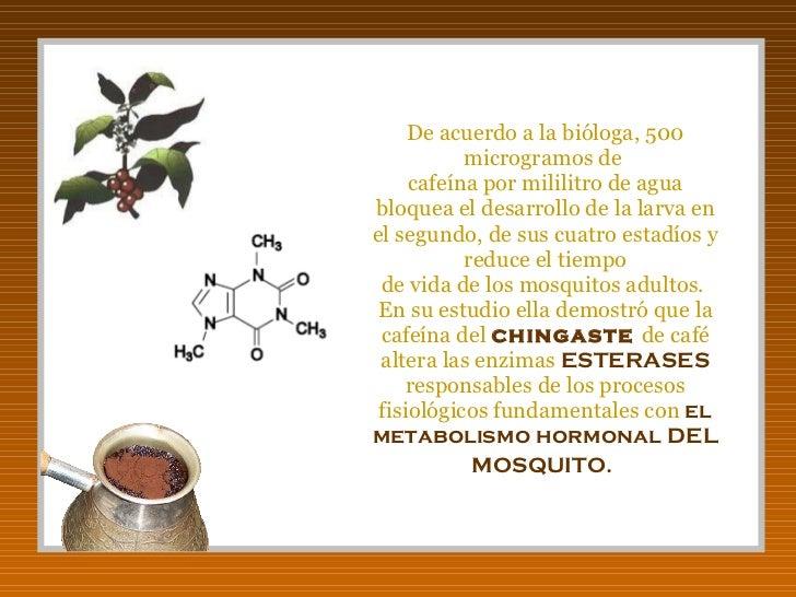 De acuerdo a la bióloga, 500 microgramos de  cafeína por mililitro de agua bloquea el desarrollo de la larva en el segundo...