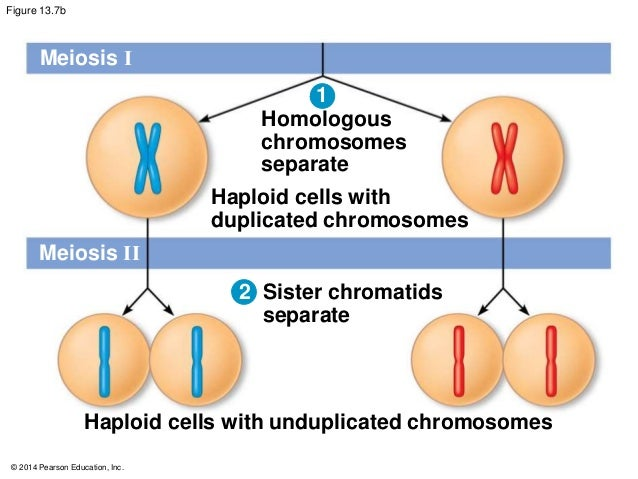 What is a chromosome called in the unduplicated form?