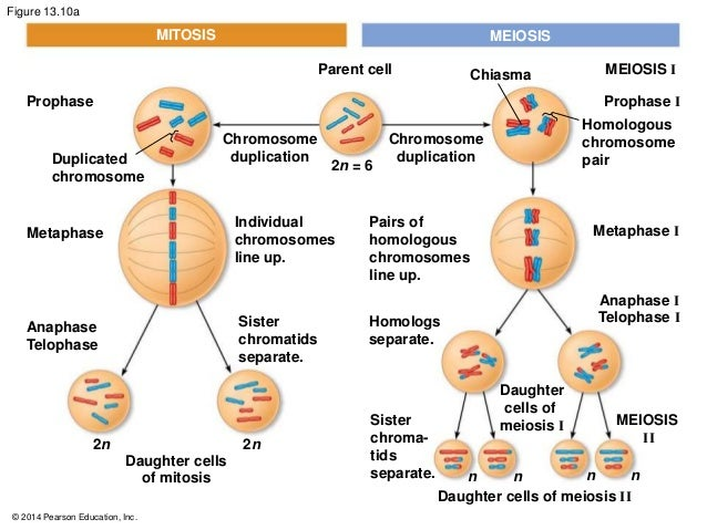 What is the difference between meiosis and mitosis