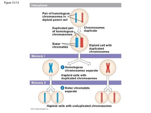 Ch 13 meiosis and sexual life cycles meiosis i 1 interphase 38 ccuart Gallery