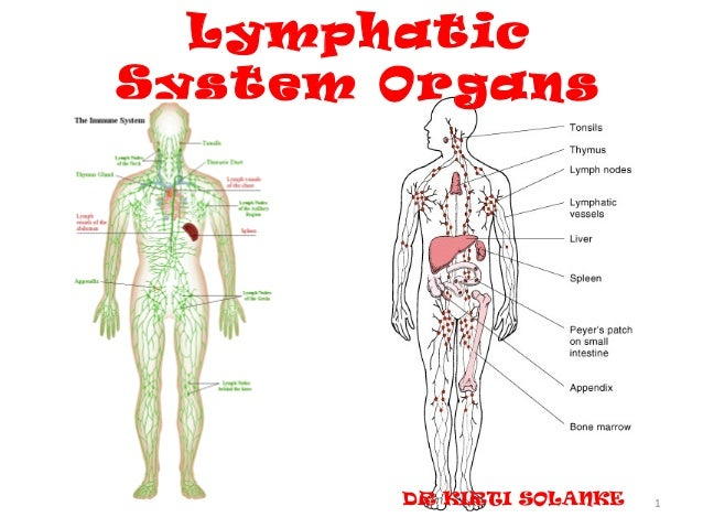 LymphaticSystem Organs       DR KIRTI SOLANKE   1
