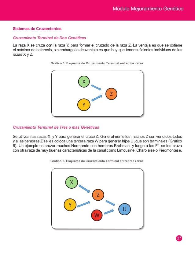 Módulo Mejoramiento Genético  38  Cruzamientos Alterno  Son cruzamientos en los cuales la primera generación F1 (cruzada),...
