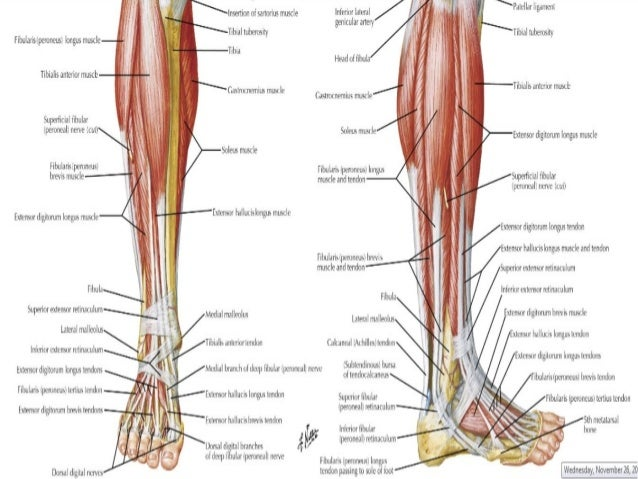 Anatomy Of The Ankle Akbaeenw