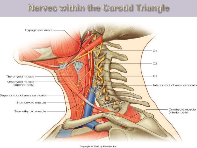 14iangles Of The Neck And Root Of The