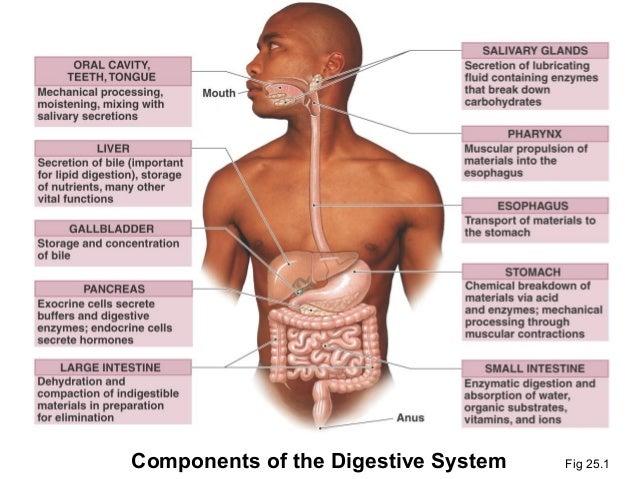 14. digestive system, Human Body