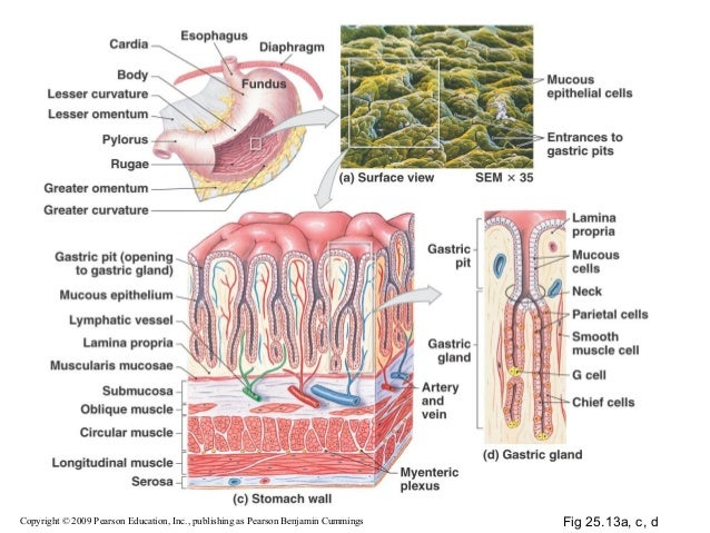 Intestinal wall diagram pearson search for wiring diagrams 14 digestive system rh slideshare net human intestinal tract diagram detailed digestive system diagram ccuart Image collections