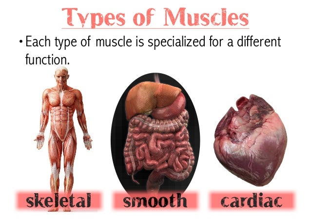 muscular system, Muscles