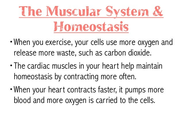 how does the muscular system maintain homeostasis