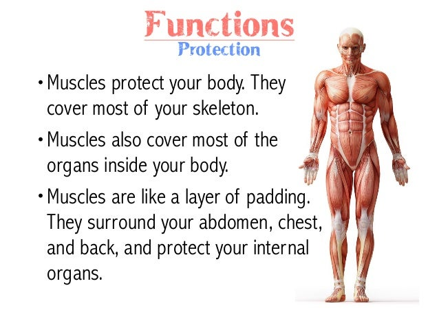 muscular system, Human Body
