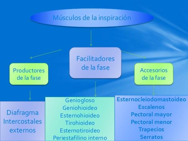 El pulm n en el paciente obeso qu tenemos que saber for Esternohioideo y esternotiroideo